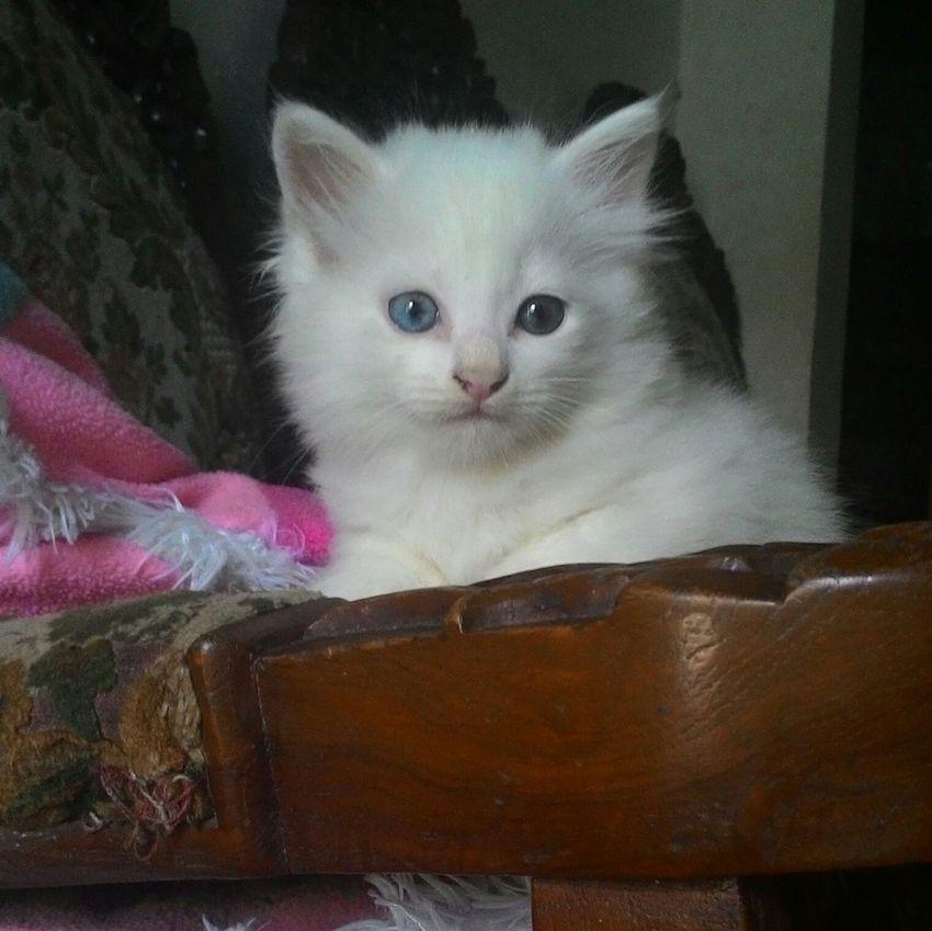 Pets Cat Odd Eye