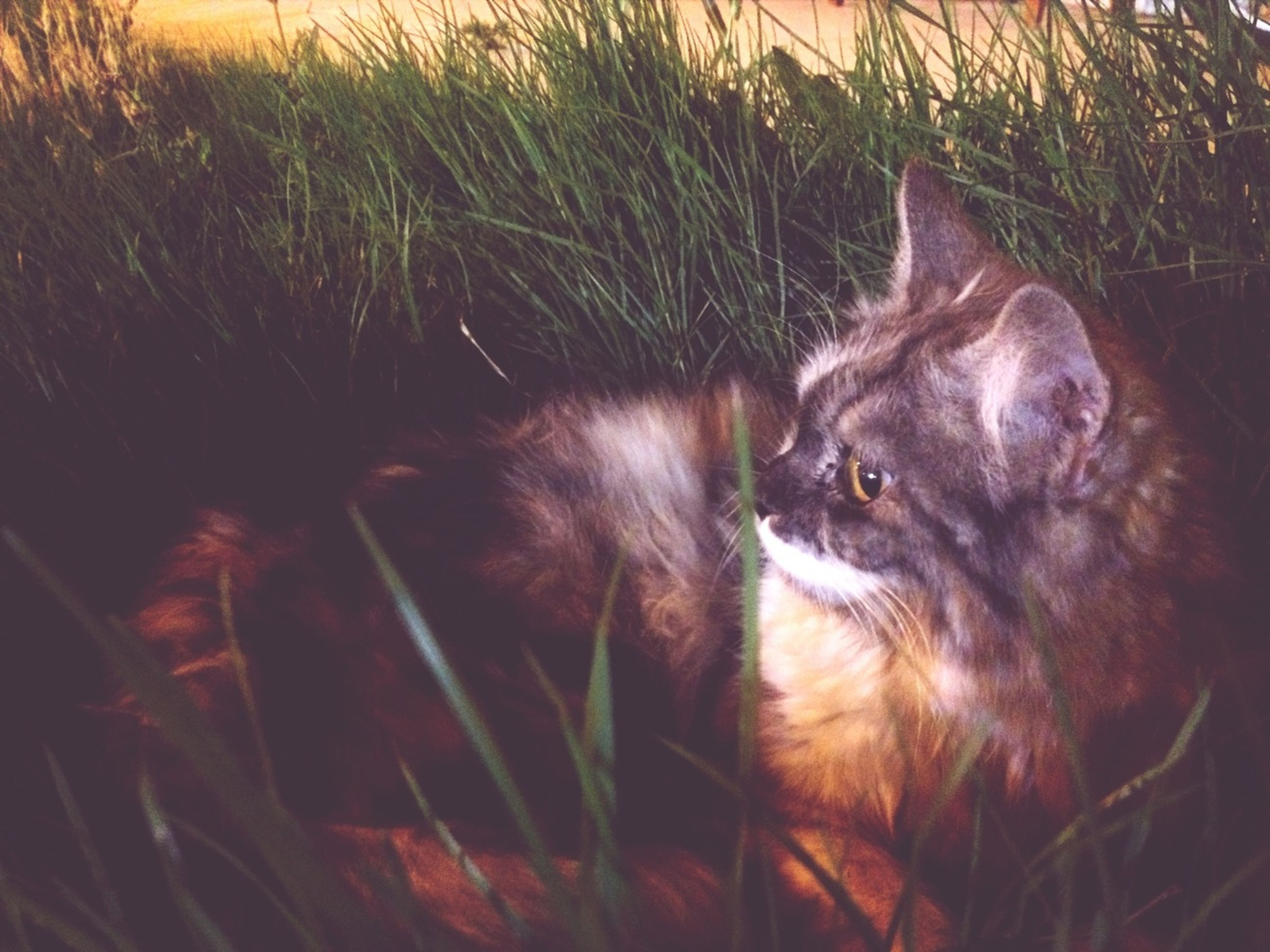 animal themes, domestic animals, pets, one animal, mammal, domestic cat, cat, looking at camera, feline, portrait, grass, whisker, dog, relaxation, no people, field, alertness, animal head, sitting