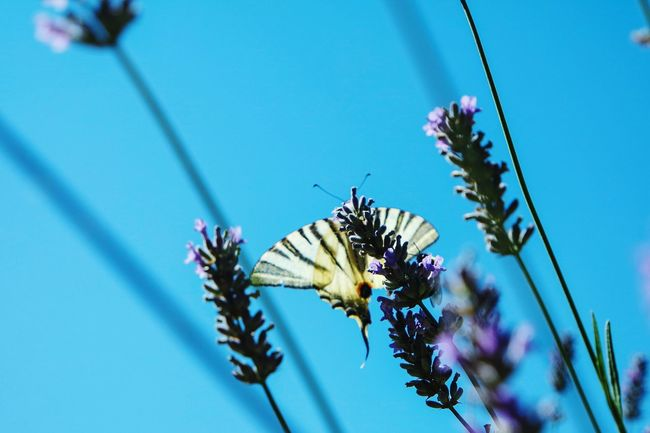 In my garden Growth Flower Fragility Plant Blue Freshness Nature Low Angle View Close-up Focus On Foreground Beauty In Nature Selective Focus Springtime Day Butterfly In Bloom Botany Flower Head Animals In The Wild Fresh 3 Eye4photography  EyeEm Best Shots Open Edit Beauty In Nature