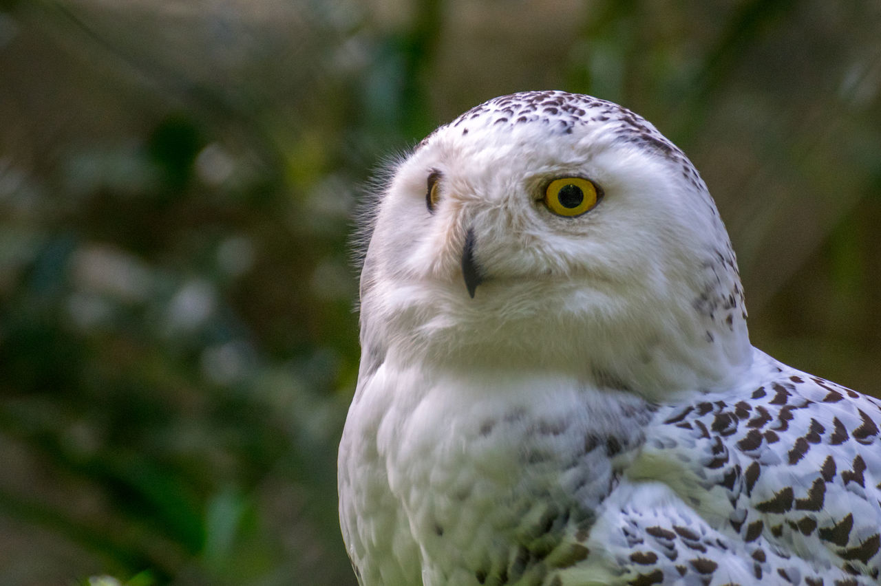 Animal Themes Beak Bird Close-up Nature No People One Animal Outdoors Owl Eyes Owls Portrait Snow Owl