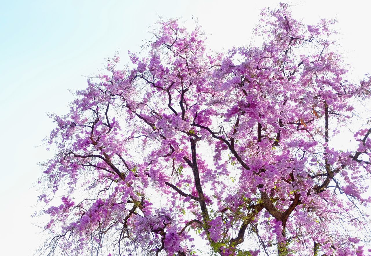 Beauty In Nature Blossom Branch Cherry Tree Close-up Day Flower Fragility Freshness Growth In Bloom Lagerstroemia Speciosa Low Angle View Nature No People Outdoors Pink Color Sky Springtime Tree