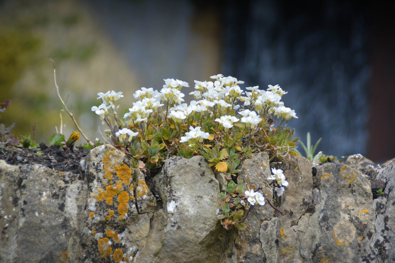 Beauty In Nature Blooming Brick Wall Close-up Country Life Country Road Countryside Day English Flower Flower Head Focus On Foreground Fragility Freshness Growth Nature No People Outdoors Plant Stone Stone Wall Stones Villages White Color Wildflowers