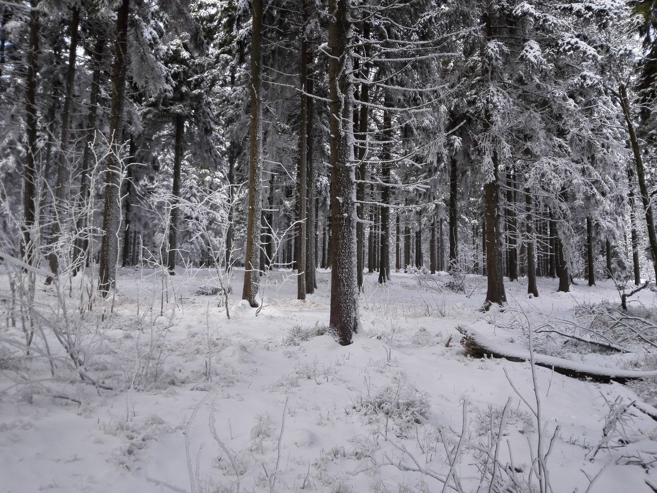 snow, winter, cold temperature, tree, forest, nature, tranquility, tranquil scene, tree trunk, beauty in nature, no people, landscape, day, outdoors, scenics