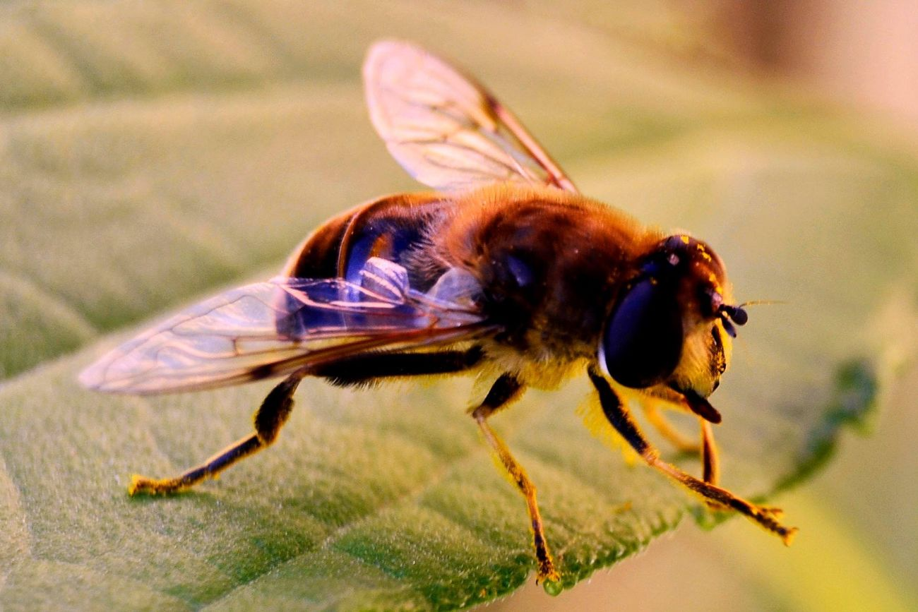 Mosca Eristalis Diptero Shyrphydae
