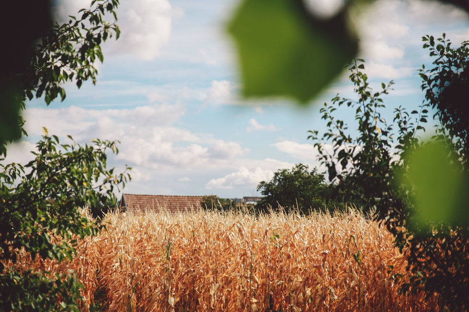 Agriculture Autumn Beauty In Nature Cloud - Sky Corn Field Crop  Day Farm Field Growth Landscape Leaf Nature No People Outdoors Plant Rural Scene Scenics Sky Tree