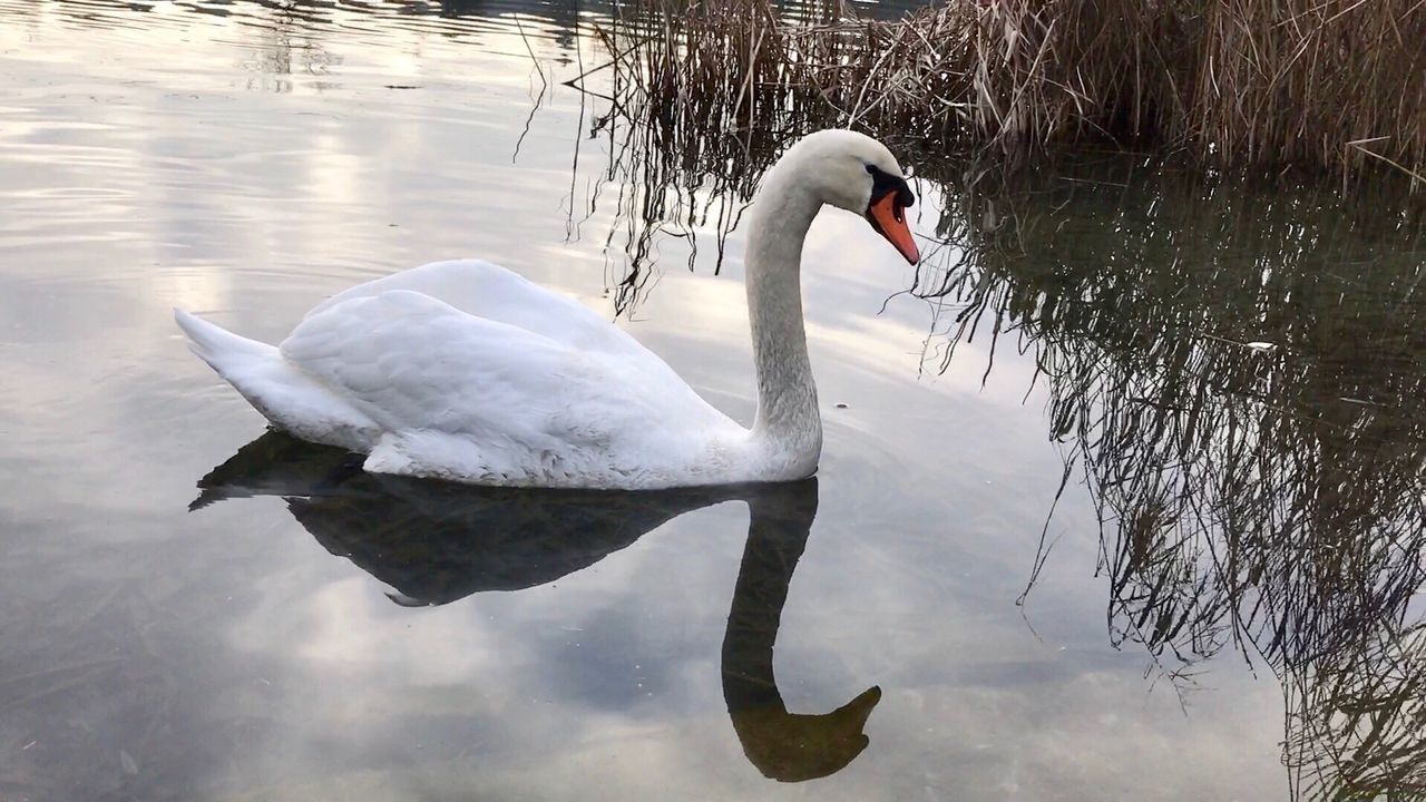 swan, lake, animals in the wild, water, animal themes, reflection, one animal, bird, swimming, water bird, white color, floating on water, aquatic, zoology, day, animal wildlife, swimming animal, vertebrate, beak, nature, no people, waterfront, black swan, outdoors, close-up