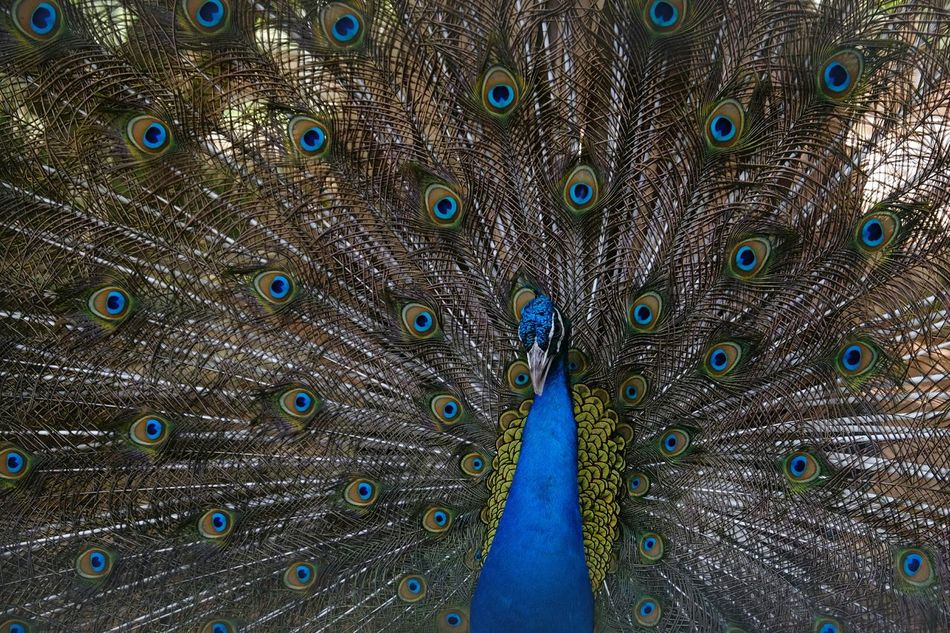 Peacock Peacock Blue Peacock Showcase April Birds_collection Birds Of EyeEm  Bird Photography Beauty Bird Beautiful Colors Beauty Market Reviewers' Top Picks