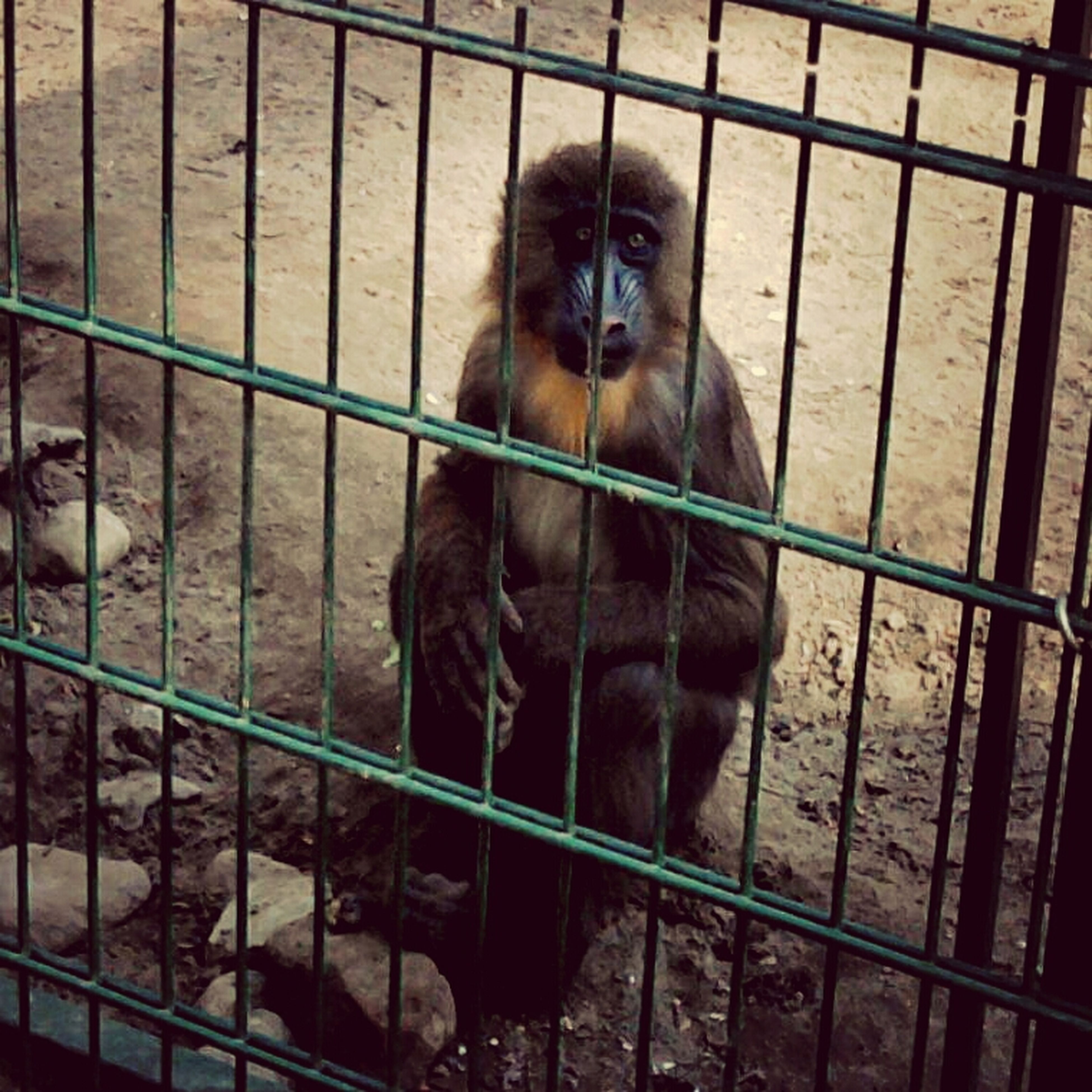 animal themes, mammal, one animal, domestic animals, animals in captivity, fence, monkey, pets, looking at camera, wildlife, portrait, sitting, cage, dog, metal, indoors, animals in the wild, zoology, day, zoo
