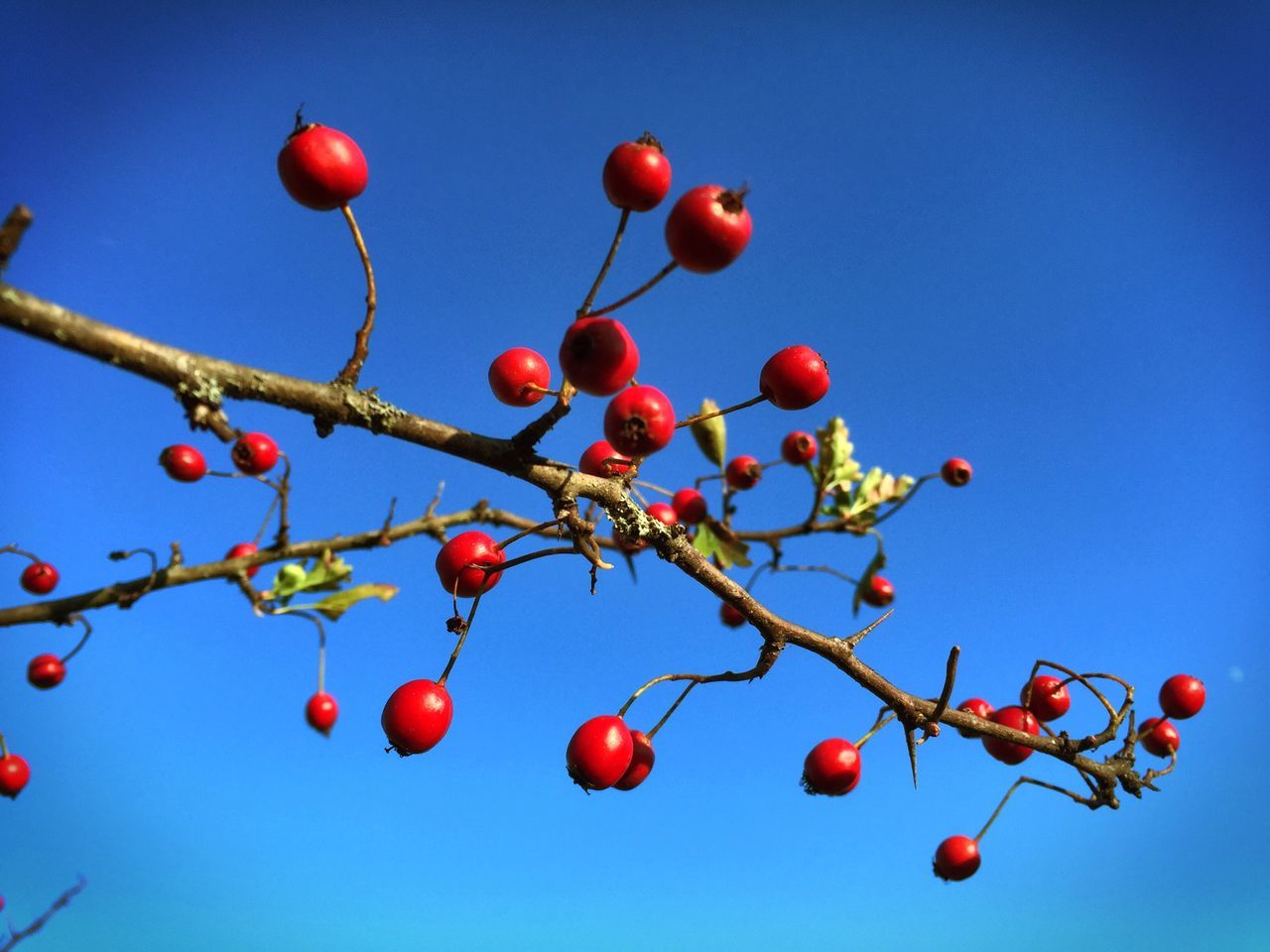 Low Angle View Of Cherries Growing On Tree Against Clear Blue Sky