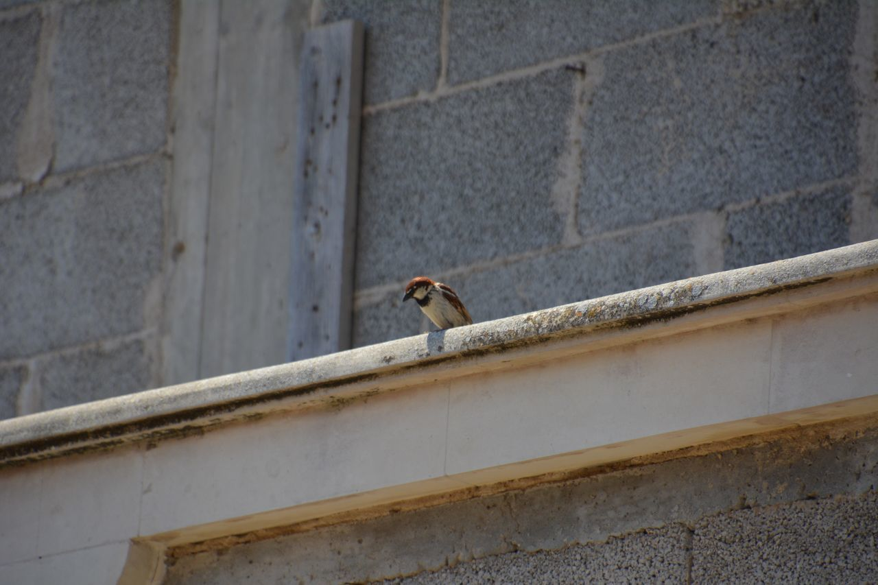 one animal, animals in the wild, animal themes, animal wildlife, architecture, bird, building exterior, outdoors, day, perching, built structure, no people, low angle view, sparrow, nature