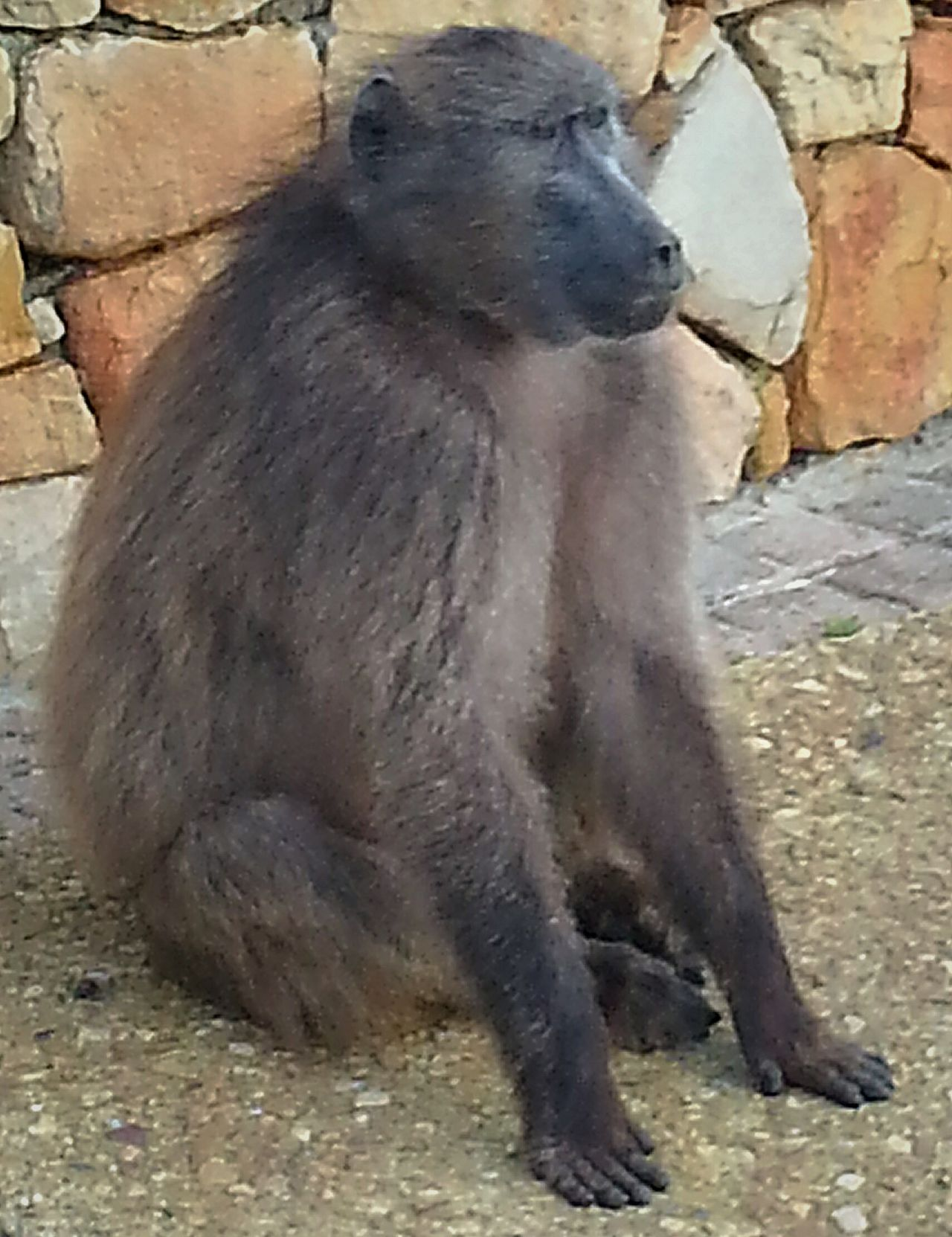 Chacma baboon in thought Eyeemphotography Emotions Captured EyeEm Nature Lover The Great Outdoors With Adobe Beauty In Nature Holiday South Africa Is Amazing Animals Hanging Out