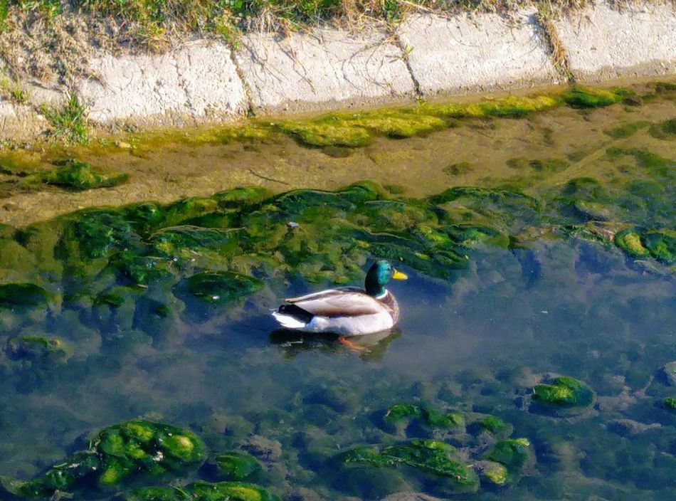 Duck Animal Themes Water One Animal Animal Wildlife Day Nature Beauty In Nature Duck Wild Duck On The Way To Work Sunny Day No People