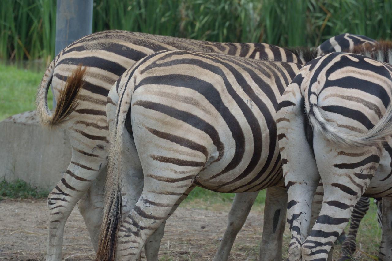 Safari Park Animal Photography Safari Zebra