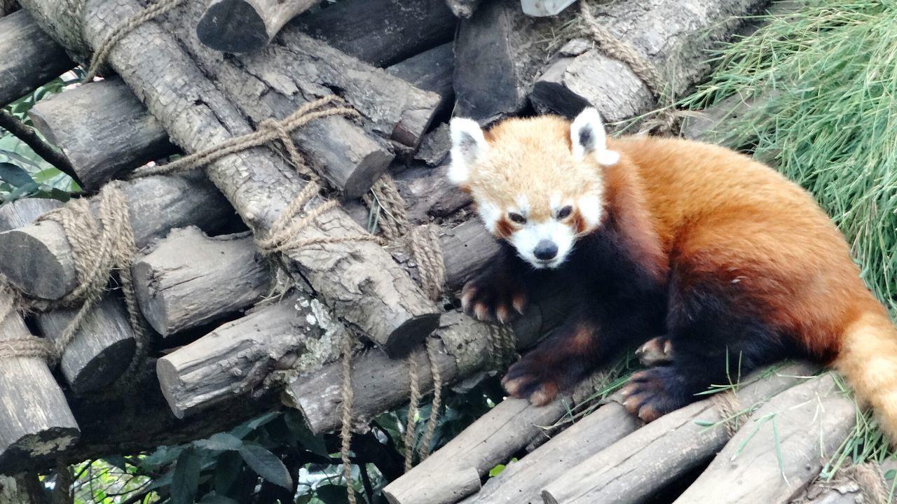 One Animal Animal Wildlife Looking At Camera Day Mammal Animals In The Wild Panda - Animal Outdoors Red Panda No People Portrait Animal Themes Close-up Giant Panda EyeEmNewHere