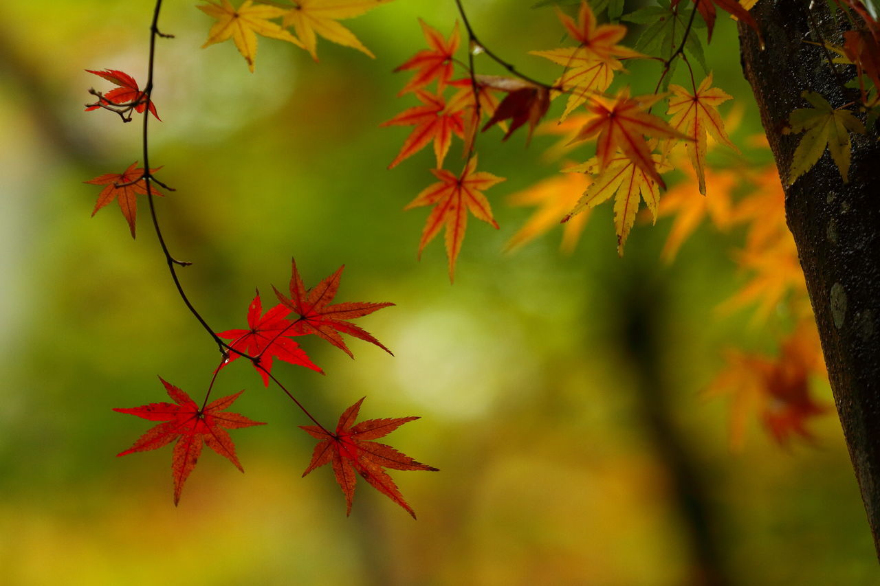 autumn, leaf, change, maple leaf, nature, orange color, maple tree, red, beauty in nature, growth, no people, outdoors, maple, tree, day, tranquility, close-up