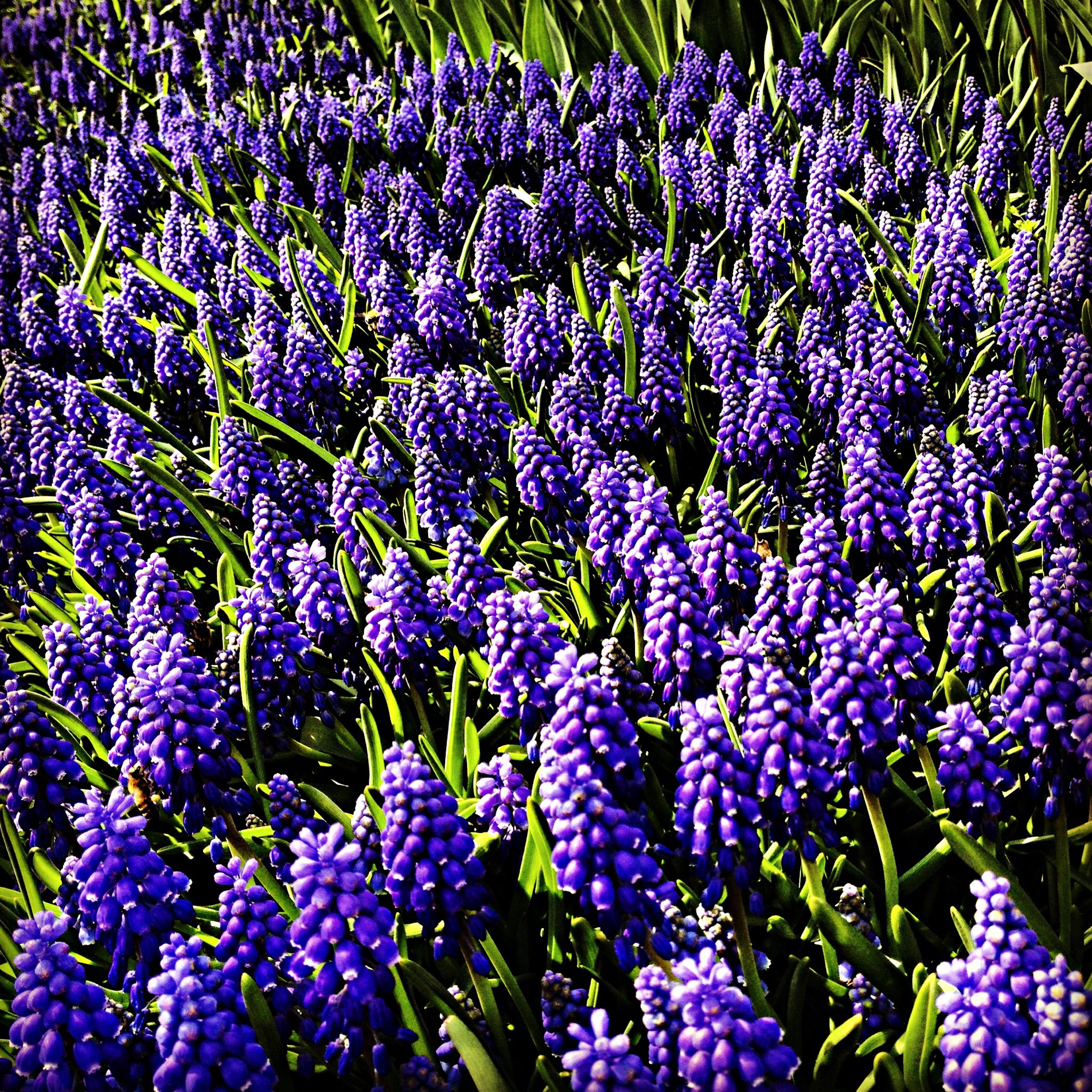 flower, purple, freshness, growth, fragility, beauty in nature, plant, petal, blooming, nature, flower head, abundance, full frame, field, high angle view, backgrounds, in bloom, close-up, park - man made space, outdoors