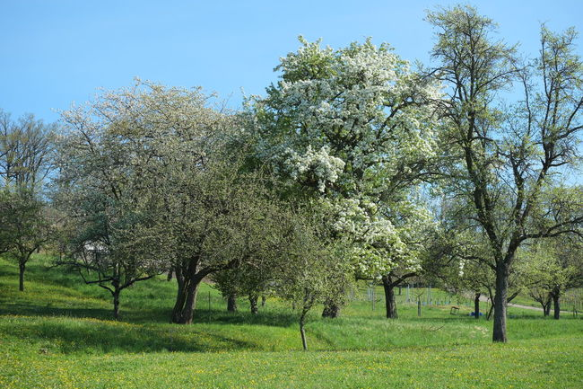 Fruit Tree Growing Fruit Tree Garden Tall Growing Fruit Trees Early Spring Spring Landscape Beauty In Nature Blooming Pear Trees Blossom Clear Sky Freshness Nature Outdoors Springtime Tree