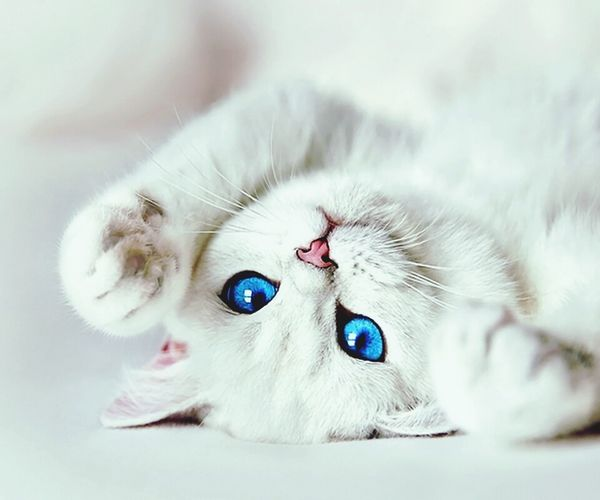Cats Cat♡ Blue Eyes White