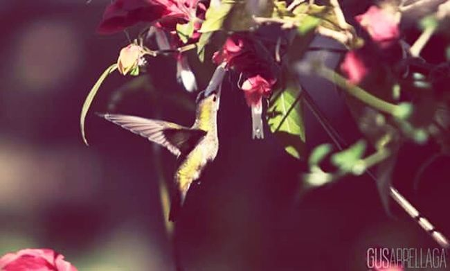 Colibrí Flower Beauty In Nature Freshness Fragility Nature Petal Green Color In Bloom Pollen Botany Blooming Day Springtime Plant Flower Head Humming Bird Hummingbirdphotography Hummingbirds Flowers