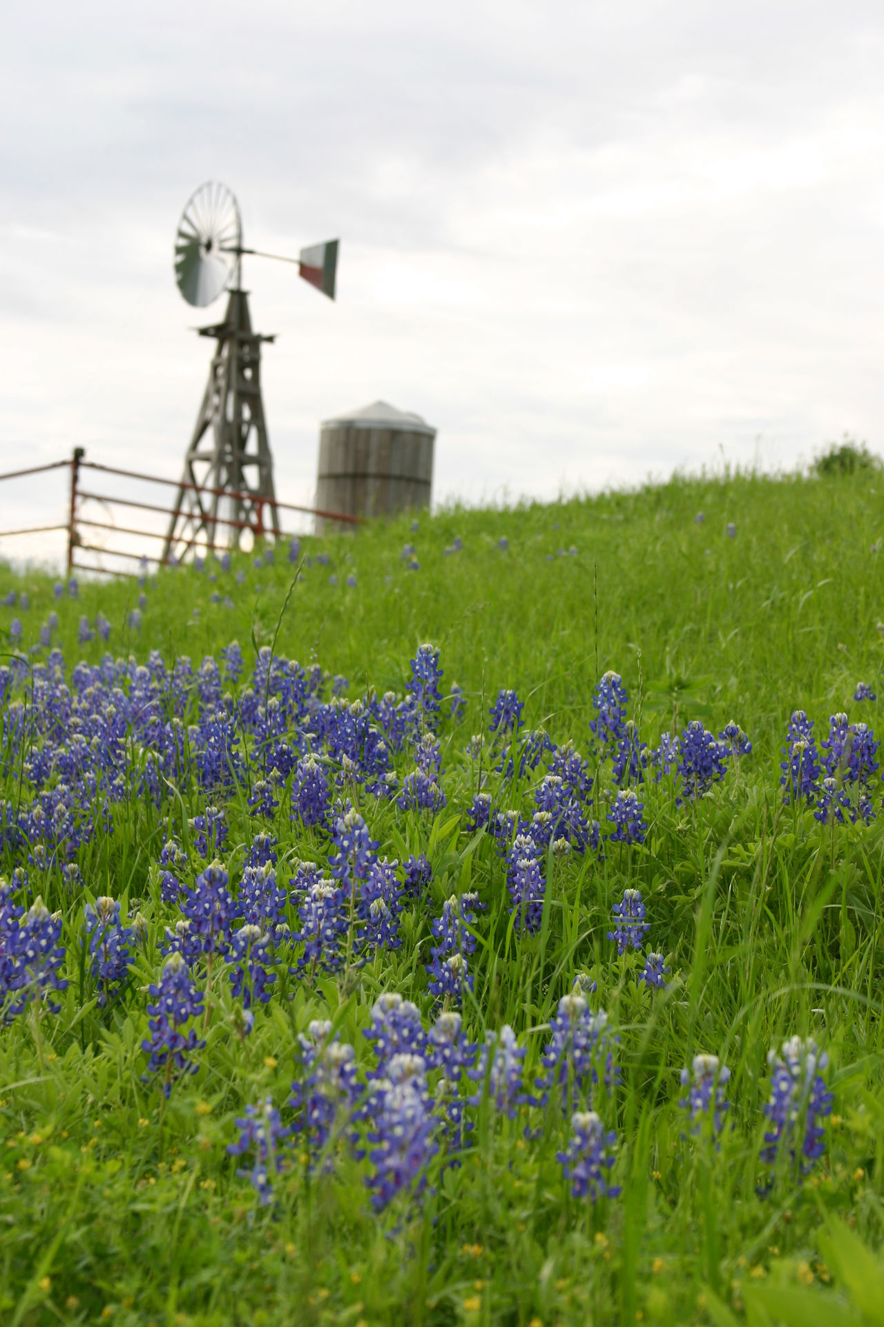 Texas bluebonnets on hillside with windmill and cistern Bluebonnets Cistern Hill Hill Country Hill Country Texas No People Purple Rural Selective Focus Springtime Texas Texas Flag USA Windmill