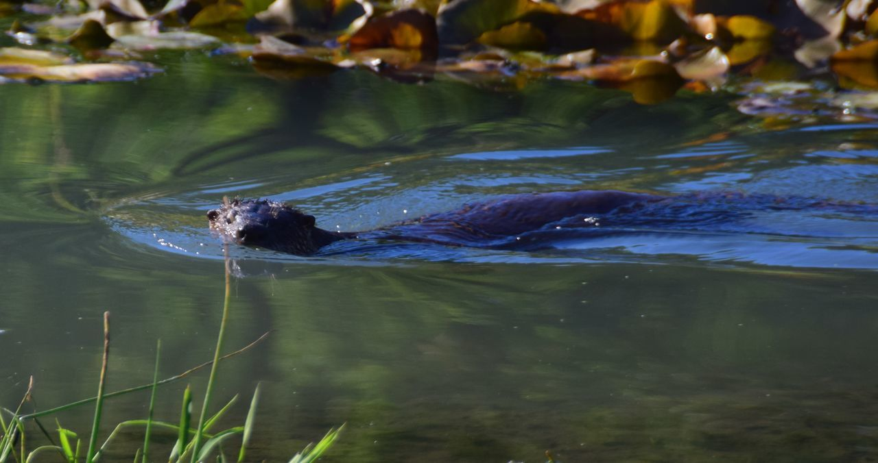 Animals In The Wild Curious Mammal Otter Otter Swimming Otters River Otter