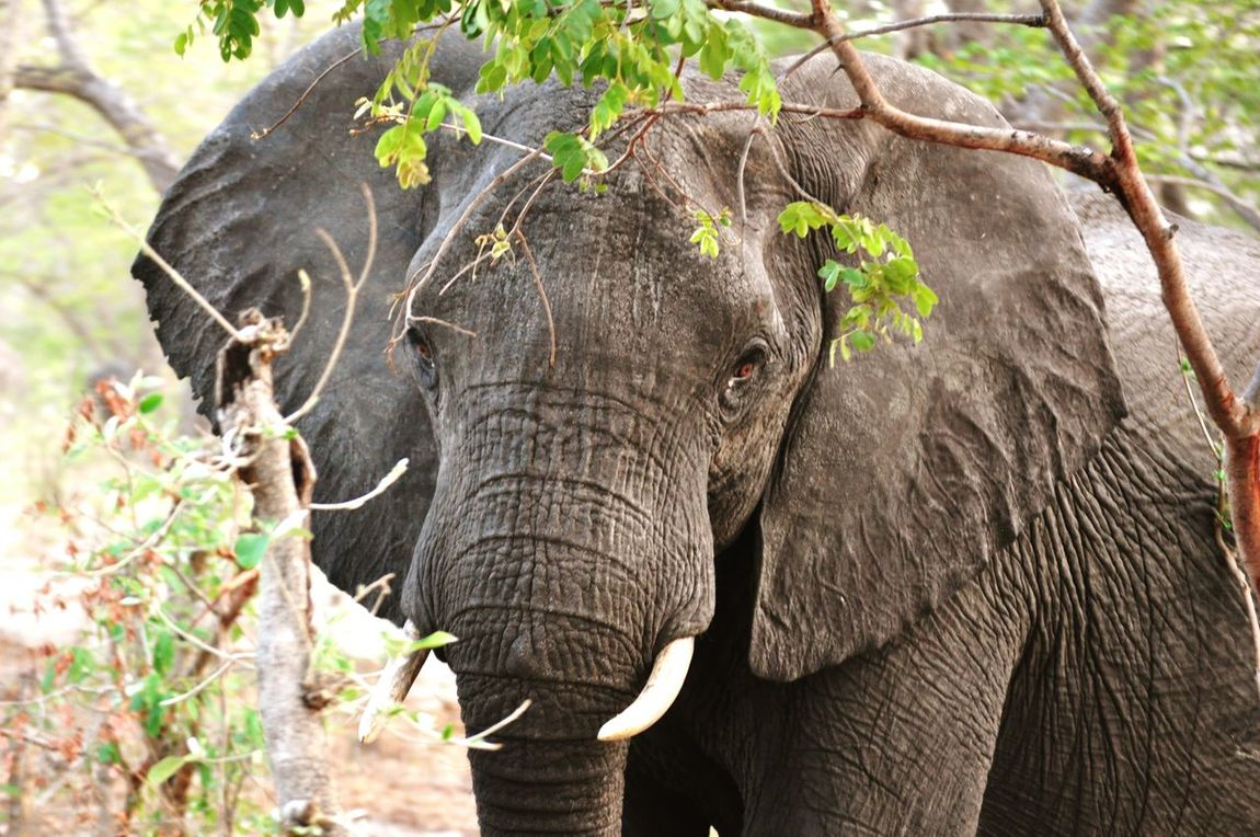 Elephant One Animal Tree Animals In The Wild Forest Animal Themes Animal Wildlife Day Outdoors Nature Grass Mammal Tusk No People African Elephant In The Bush African Bush Hiding Hiding In The Bushes African Beauty African Safari Safari Safari Animals Game Drive Botswana