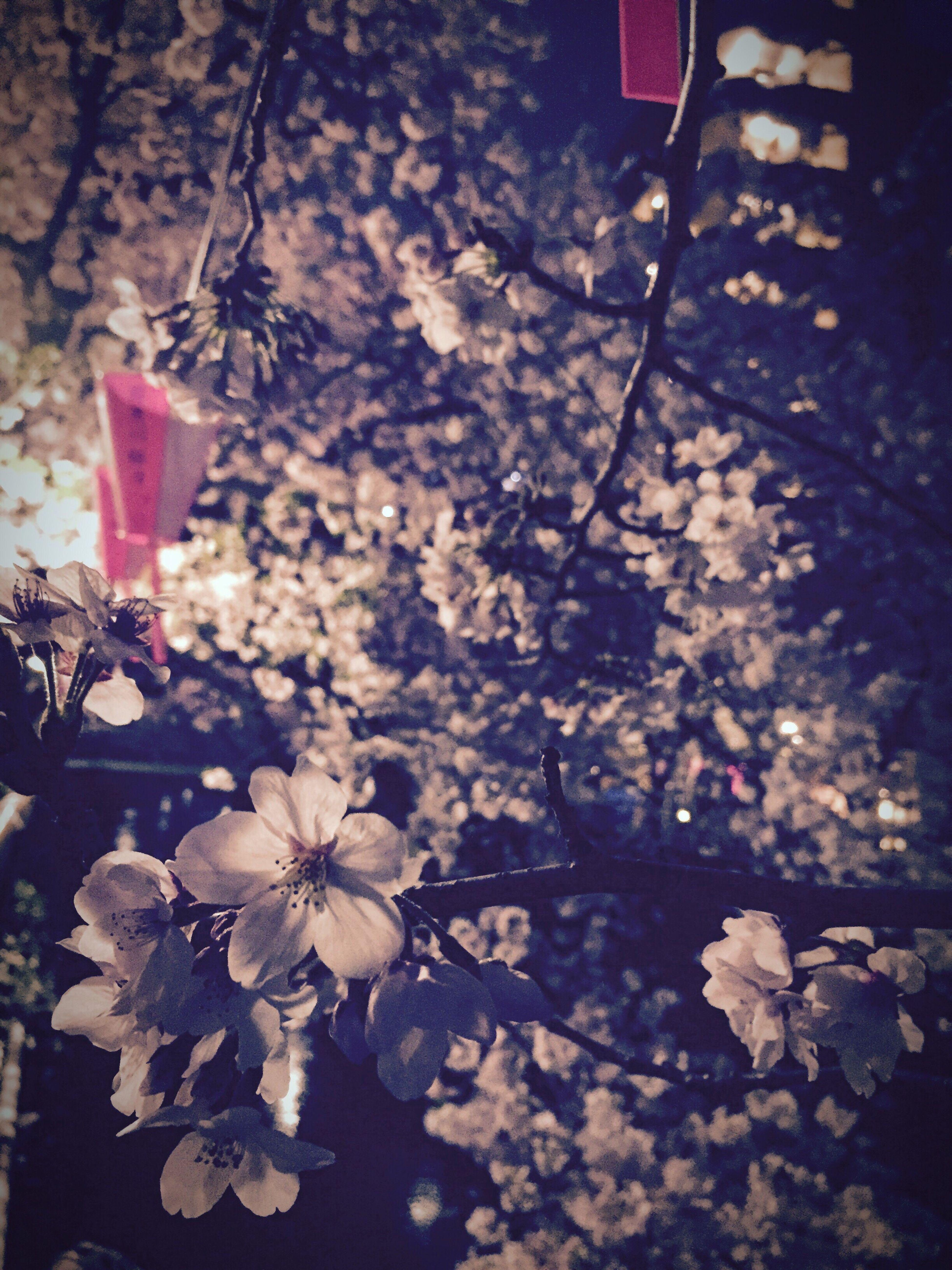 Lovely Plase at Nakameguro Cherry Blossoms Showcase April