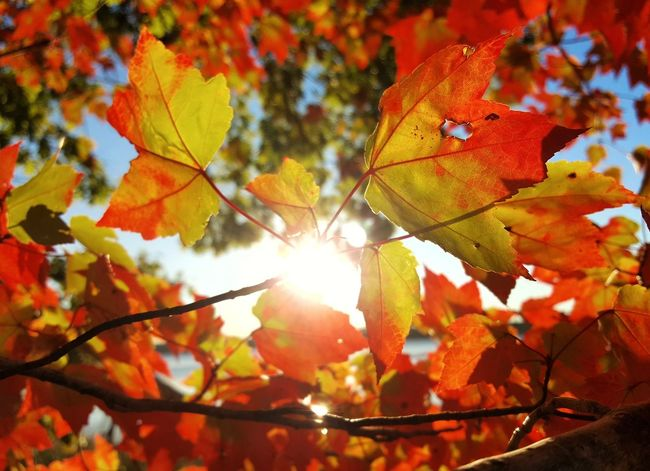 Good afternoon... Autumn Leaf Change Nature Maple Leaf Tree Sunlight Beauty In Nature Outdoors Close-up Sunny Maple Tree Leaves Maple Orange Color Autumn Collection Day No People Branch Scenics EyeEm EyeEm Best Shots - Landscape Fall Colors Fall Beauty EyeEm Nature Lover