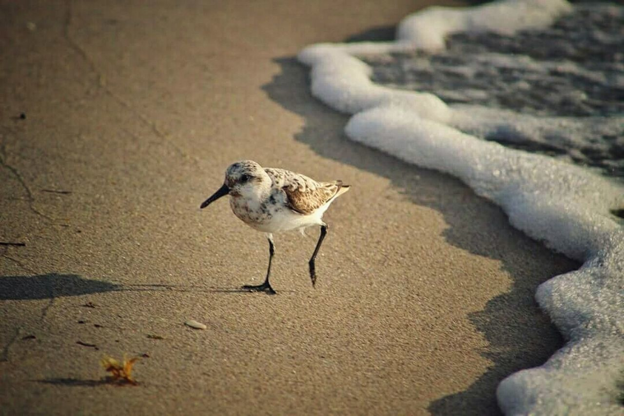 one animal, sand, beach, animals in the wild, bird, animal wildlife, animal themes, nature, day, outdoors, no people, shadow, water