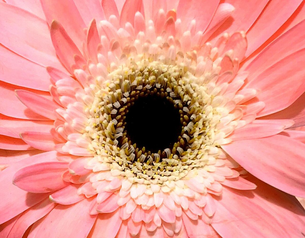 Pink Flower Pink Showcase: January Gerbera Daisy EyeEm Best Shots - Flowers EyeEm Best Shots Flowers Flowers,Plants & Garden Pastel Power Macro Macro_flower Up Close Flowerporn Pink Color Pink Flowers Pink Daisy Gerbera Gerbera Flower Macro Nature Colorful