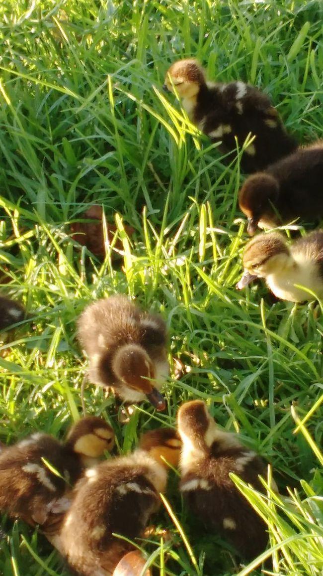 43 Golden Moments Little Ducks Eating!  Beautiful Animals  Enjoying Life