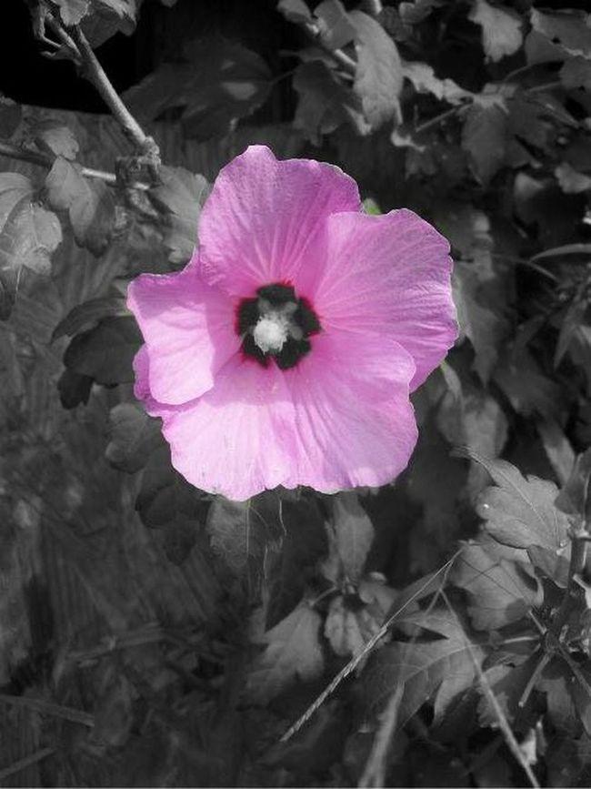 Beauty In Nature Blossom Flower Freshness Pink Color Rose Of Sharon Single Flower Springtime Vibrant Color