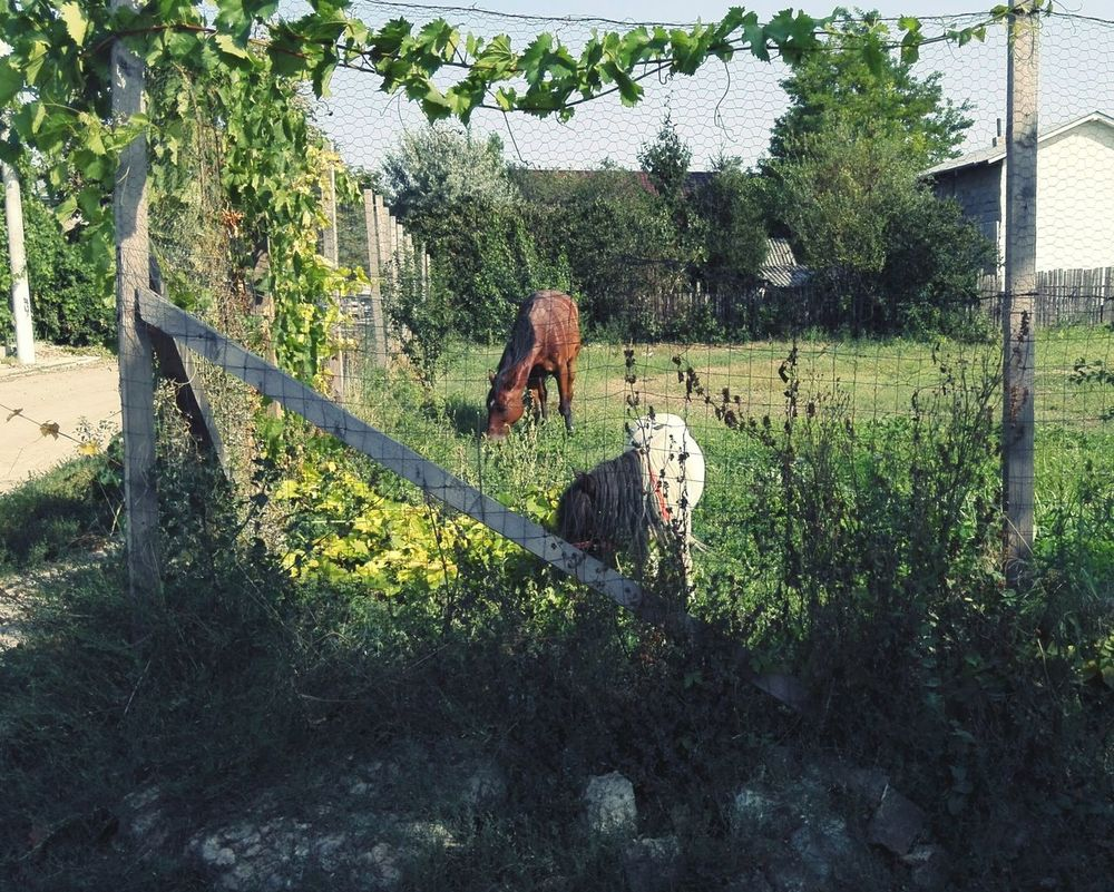 Horse And Pony Grazing Grapevine On Fence Poney Horse Eating Grass Grazing Poney Grazing Pascand Cal Pônei Calarasi Enclosure Animal Barbedwire Str. N. Iorga Horse And Pony Grazing Day Tree Outdoors Grass Growth Sunlight Shadow Animal Themes Nature Domestic Animals Mammal