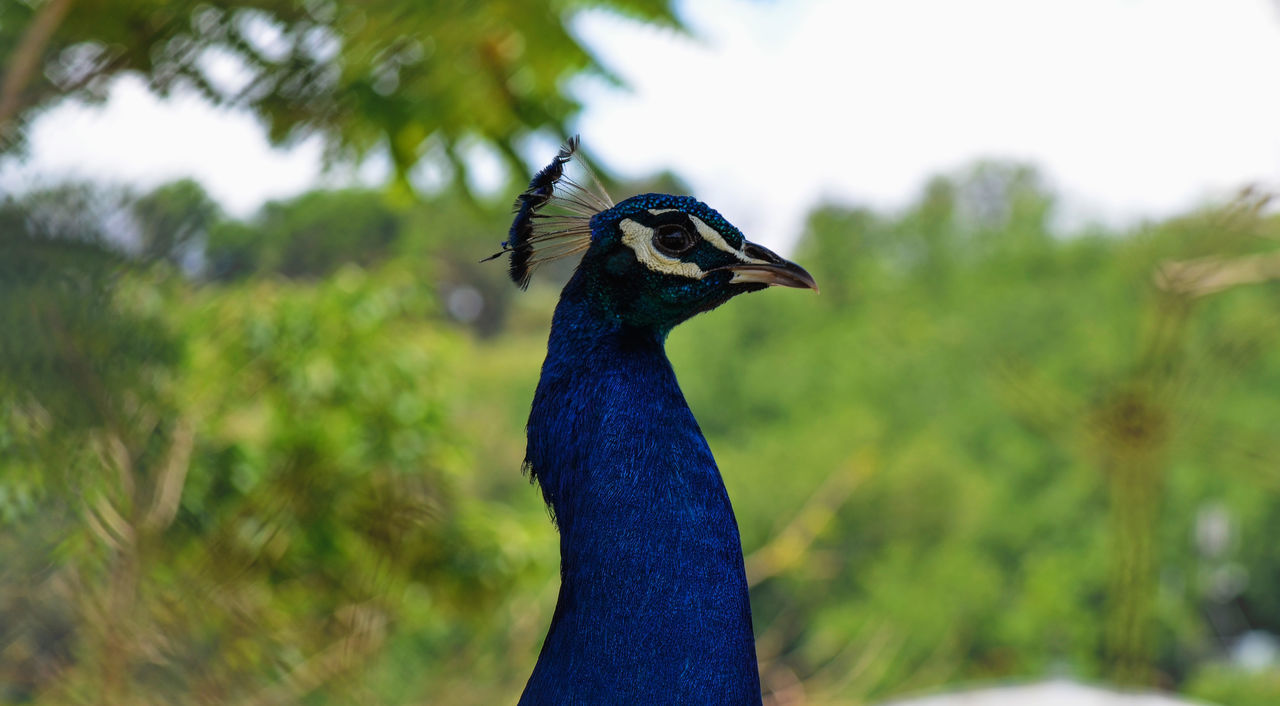 Beautiful stock photos of peacock, Animal Themes, Animal Wildlife, Animals In The Wild, Bird