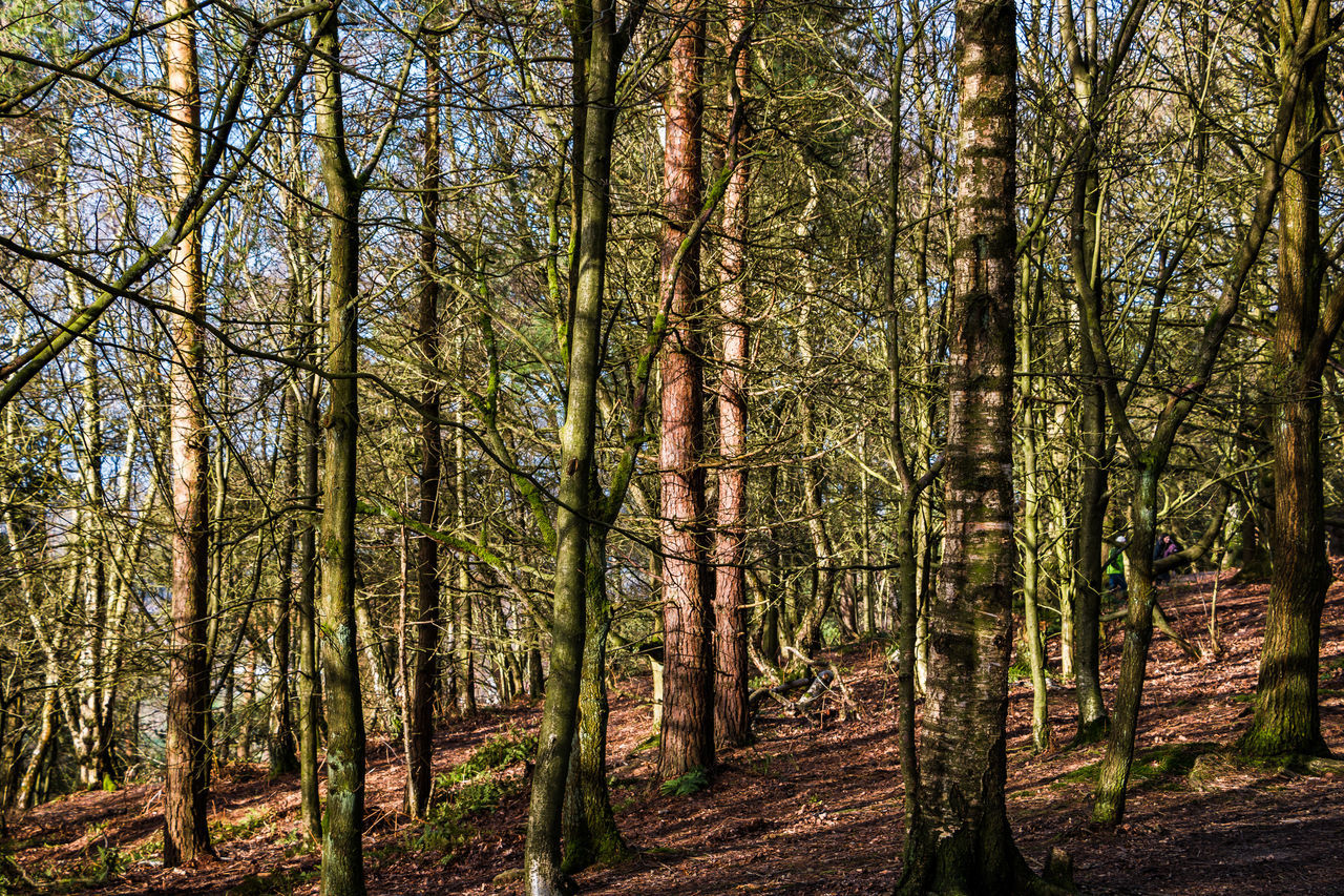 Alderney Edge, Cheshire Alderley Edge Beauty In Nature Branch Day Forest Growth Nature Outdoors Scenics Tranquil Scene Tranquility Tree Tree Trunk
