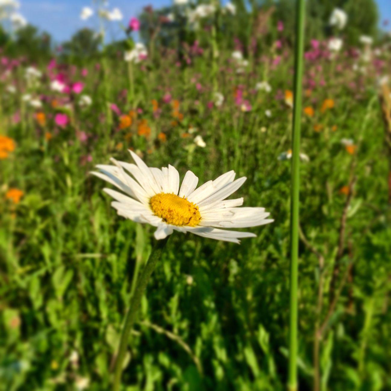The Essence Of Summer Flowers Daisy Daisy Flower Sunny Day Bavaria IPhone Photography