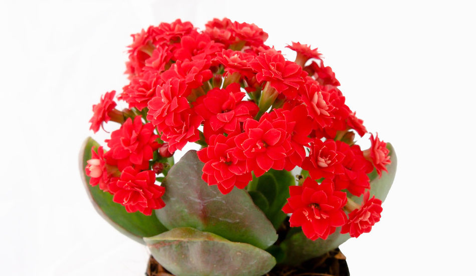 Beautiful red kalanchoe flowers in a pot Backgrounds Beautiful Beauty In Nature Bloom Blossom Botany Close-up Decoration Flower Flower Head Focus Freshness Garden Isolated Kalanchoe Leaves Nature No People Plant Pot Red Spring Summer Tropical White Background