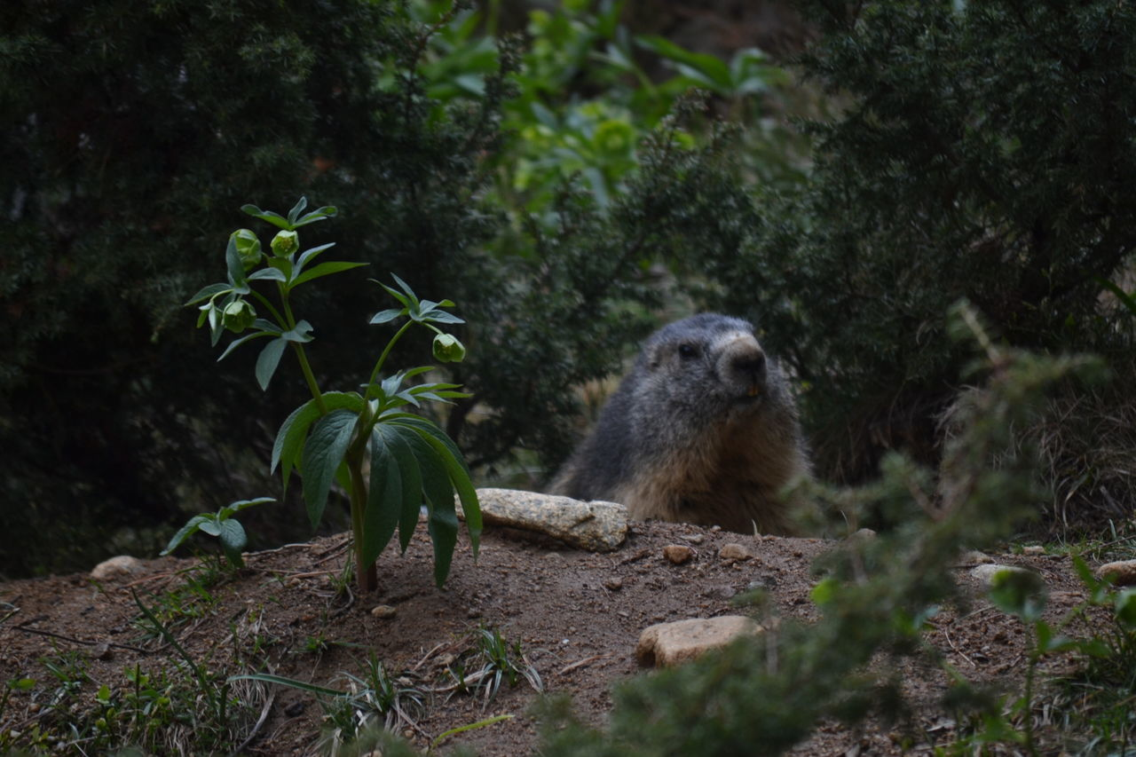Animal Animal Wildlife Nature One Animal No People Animal Themes Beauty In Nature Outdoors France Franca Nature Photography EyeEmNewHere Beauty In Nature Parcanimalier Lesangles Marmota Marmot