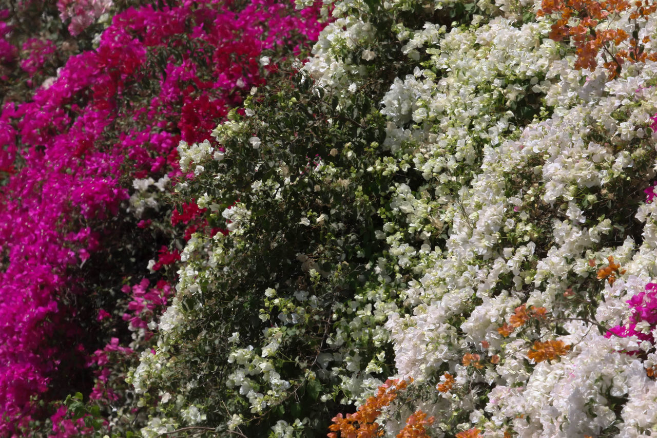 Bougainvillea Backgrounds Beautiful Beauty In Nature Bougainvillea Bougainvillea Flower Colorful, Color, Design, Flower Fragility Full Frame Green Growth Magenta Nature Orange Color Pink Color Plant Plant Plants And Flowers Relaxing Tranquility Tree Wall Climbing Wall Climbing Bougainvillea Wall Climbing Plant Water