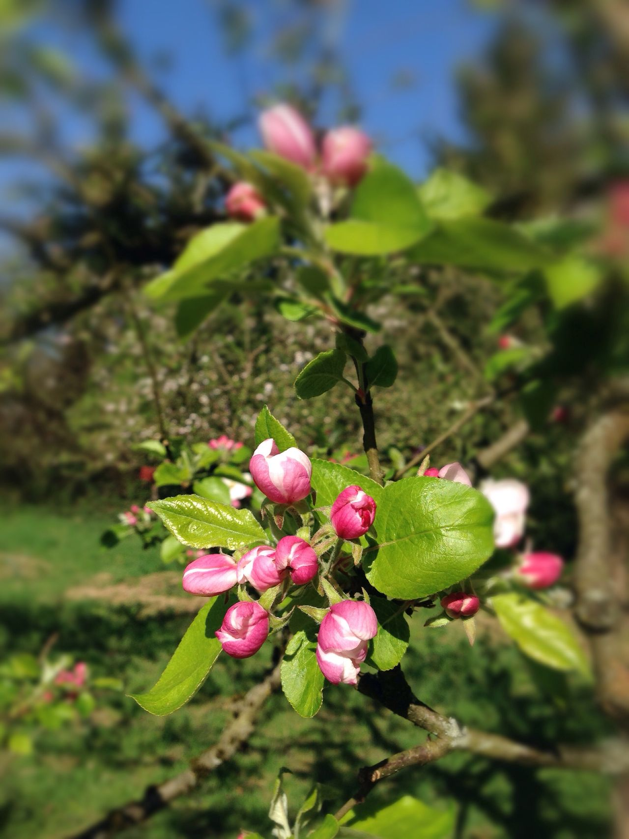 Apple Blossom small Flower Growth Nature Blooming Apple Tree Beauty In Nature Fragility Pink Color Outdoors