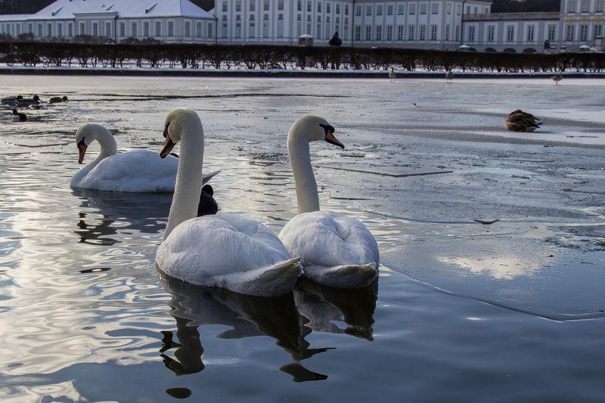 Bird Bird Photography Birds Ice Lake Nymphenburg Nymphenburg Palace Nymphenburger Kanal Snow Snow ❄ Swan Swans ❤ Water Winter Shades Of Winter