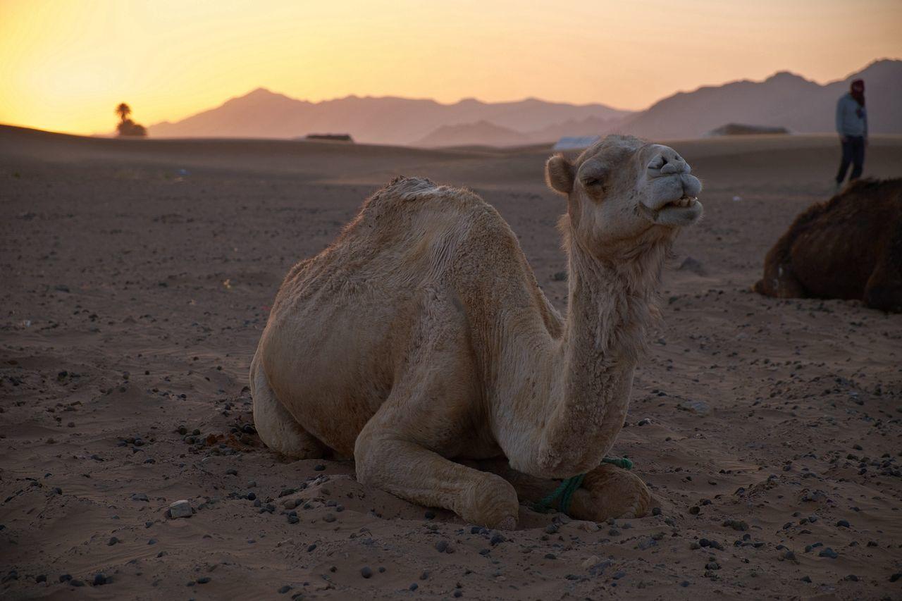 Beautiful stock photos of camel, Animal Themes, Arid, Brown, Camel