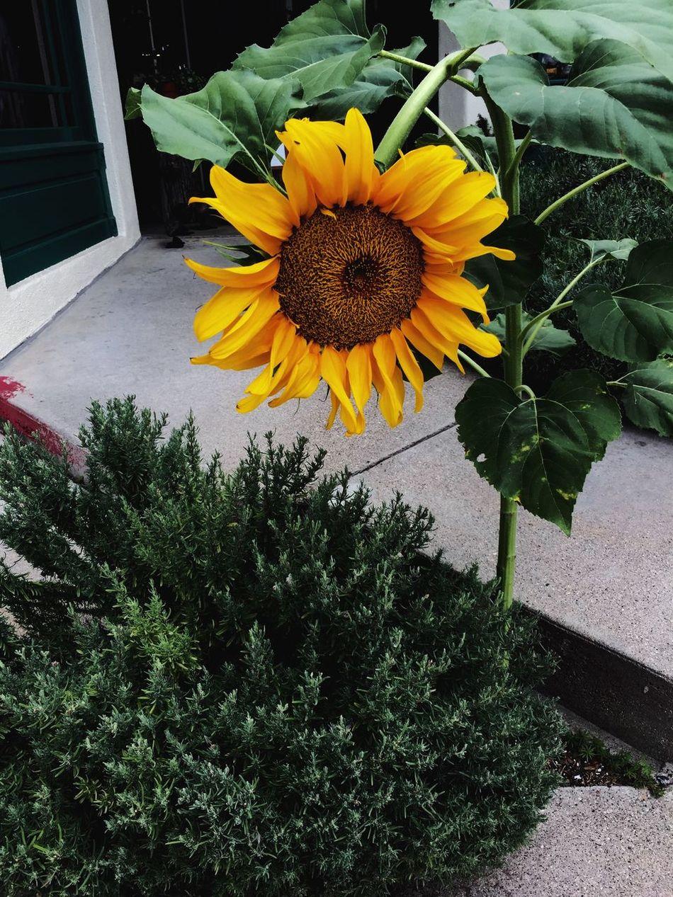 Nature Sunflower