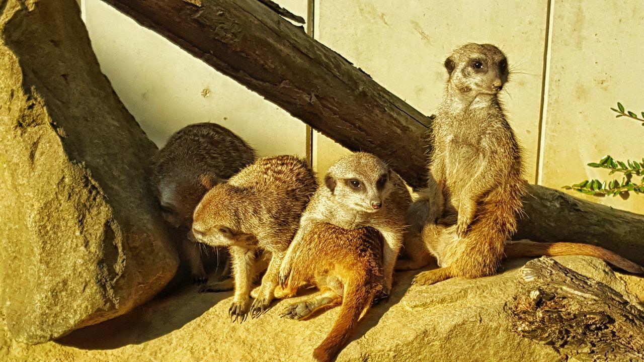 meerkat, animal wildlife, animals in the wild, animal themes, mammal, outdoors, day, no people, sitting, nature, raccoon, baboon
