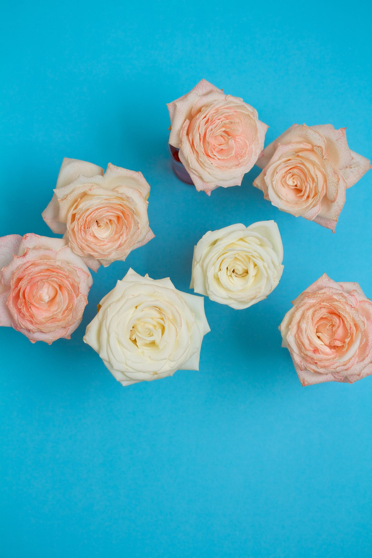 Pink and white roses on blue background Blue Blue Background Flower Flower Head Fragility Indoors  Nature No People Pink Roses White Roses