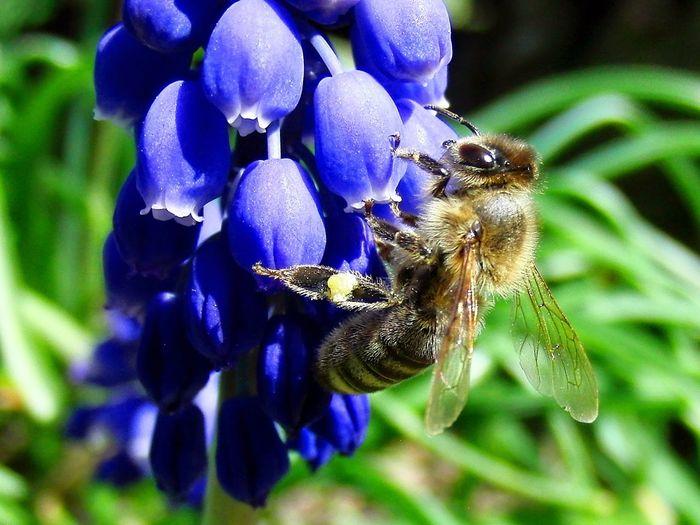 Bee Biene Blume Botany Close-up Flower Flügel Honey Bee Insect Macro No People One Animal Pollination Winks