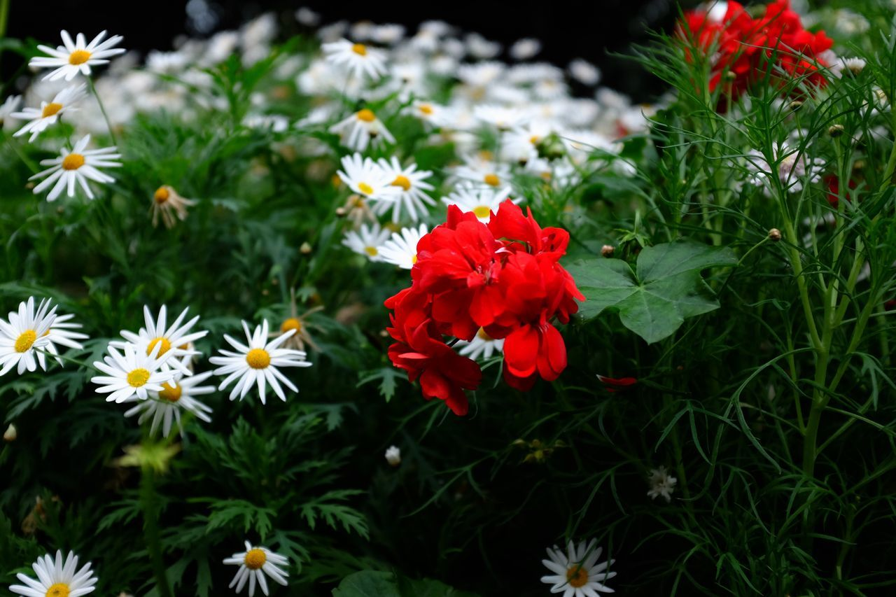 flower, petal, growth, freshness, beauty in nature, nature, no people, flower head, fragility, blooming, plant, red, day, close-up, outdoors
