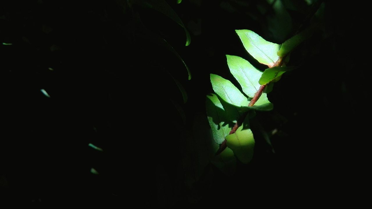 Green Color Leaf Growth Black Background Nature Plant No People Indoors  Night Close-up