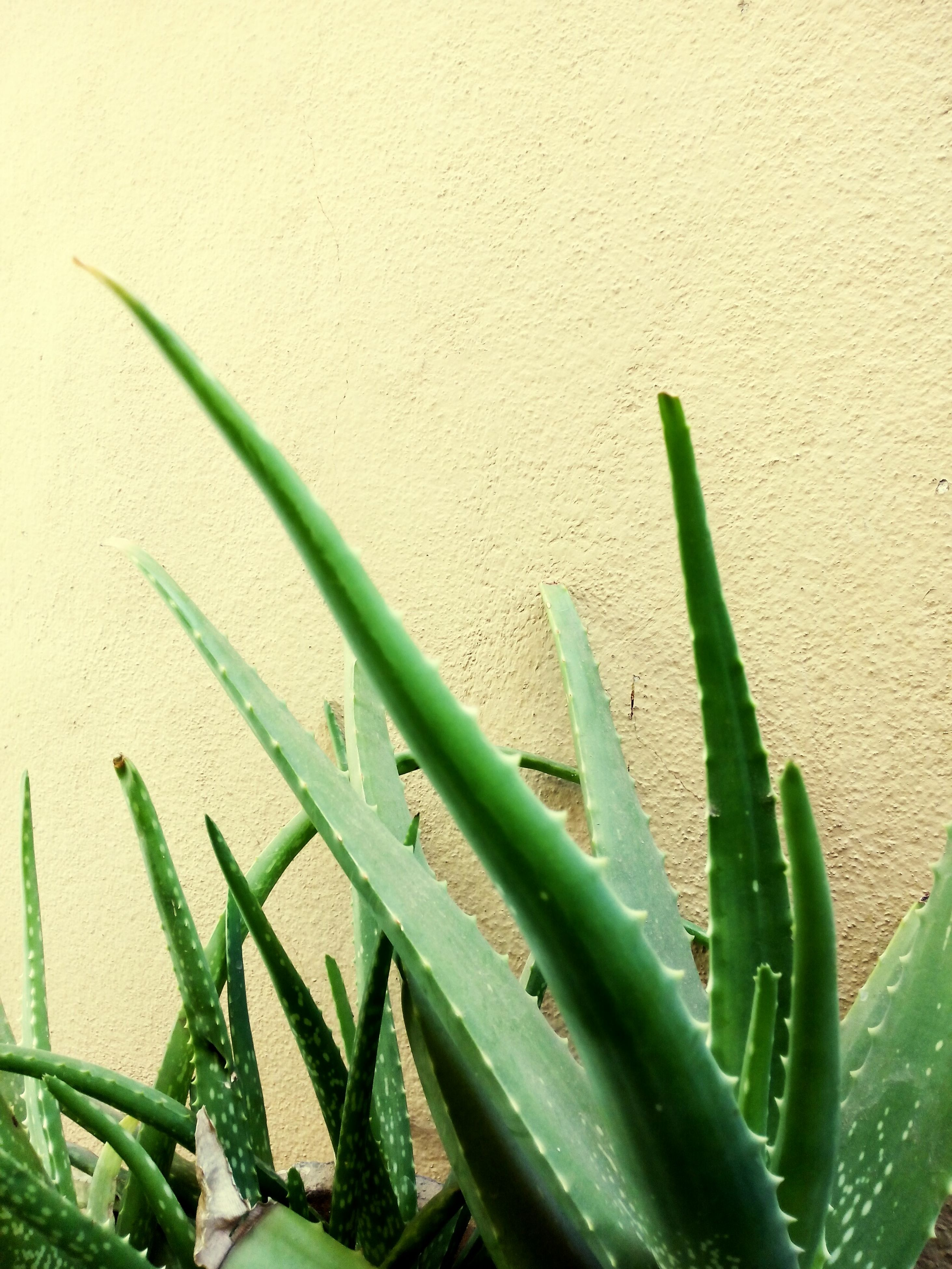 green color, leaf, plant, growth, close-up, nature, green, growing, stem, day, no people, high angle view, outdoors, sharp, cactus, wall - building feature, freshness, grass, spiked, thorn