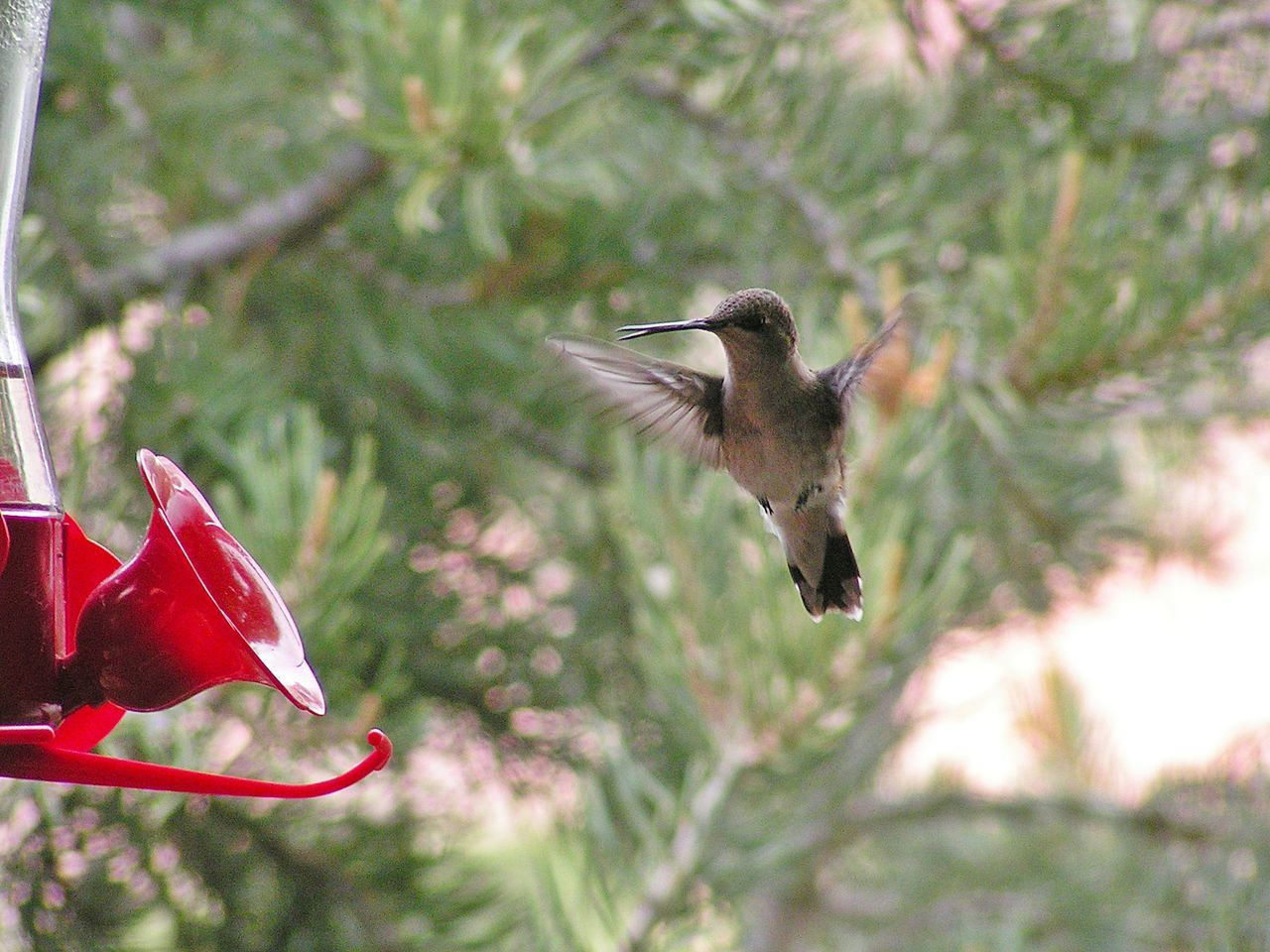 """Whoa, No Bees?!"" Animal Themes Animals In The Wild Beautiful Nature Bird Birds Of EyeEm  Close-up Day EyeEm Gallery EyeEm Nature Lover Flying Focus On Foreground Hummingbird Hummingbirdphotography Hummingbirds Mid-air Nature No People Outdoors Red Spread Wings Tree Utah"